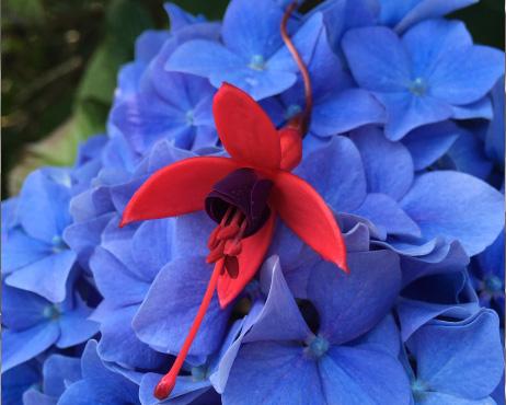 A photo of the colourful fuchsia and hydrangea flowers